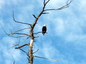 Bald Eagle perched in Tree.