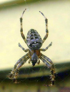 cross spider (maine) - Araneus diadematus