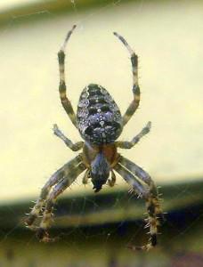 cross spider (maine) - Araneus diadematus