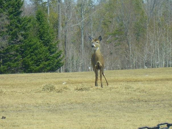 Photograph of a deer in Medway, Maine.