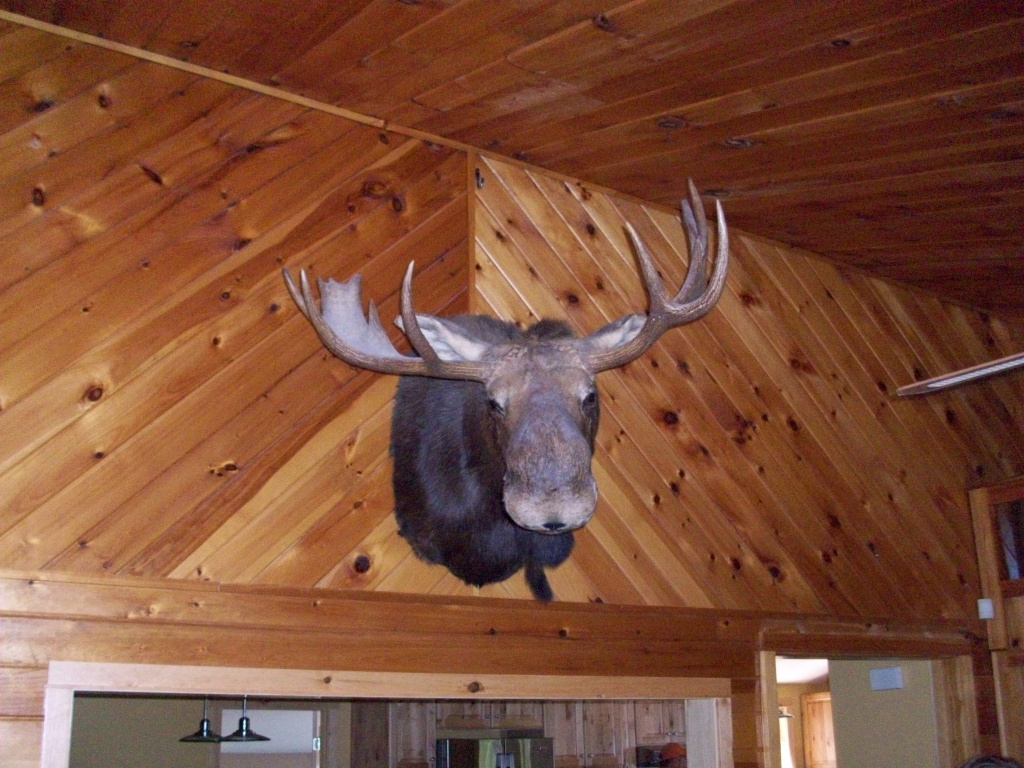 Moose Head mounted on wall in Maine.